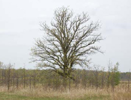 Bur Oak near Baldwin Road