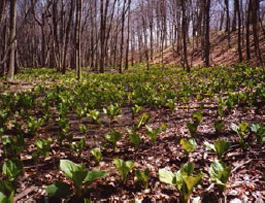 Skunk Cabbage in Eastgate floodplain